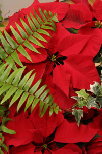an image of a poinsettia with fern and ivy