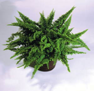 a picture of the fern 'Fluffy Ruffles'