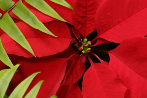 Picture of red poinsettia and fern