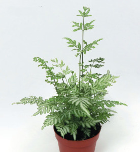 a picture of the fern 'Silver Lace'