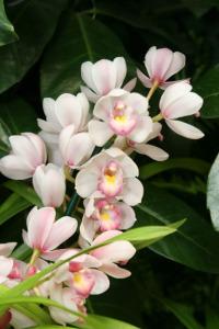 A photo of a cymbidium orchid