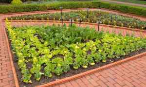 an image of a formal Victorian Garden planted in edible plants