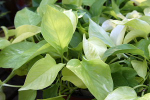 a photo of Golden Pothos 'Neon'