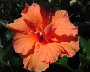 A photo of HibisQs(r) Double Orange Tropical Hibiscus (photo by E. Barredo)