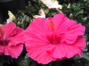 An image of a pink TradeWinds tropical hibiscus