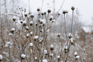A photo of New England Aster snow-covered seed heads.