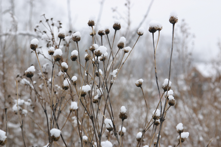 Perennials for winter interest the gateway gardener a photo of new england aster snow covered seed heads mightylinksfo