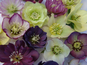 A photo of the Lenten Rose, Helleborus Brandywine Mix