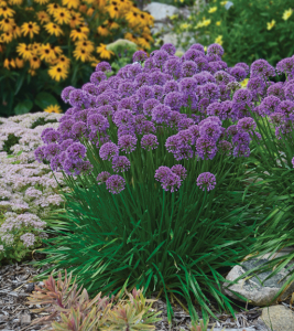 a photo of Allium Millennium