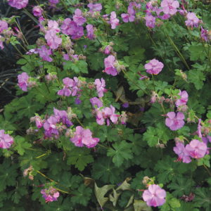 A photo of Geranium microrrhizzum 'Bevan's Variety'