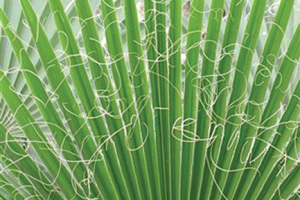 A photo of a fan palm