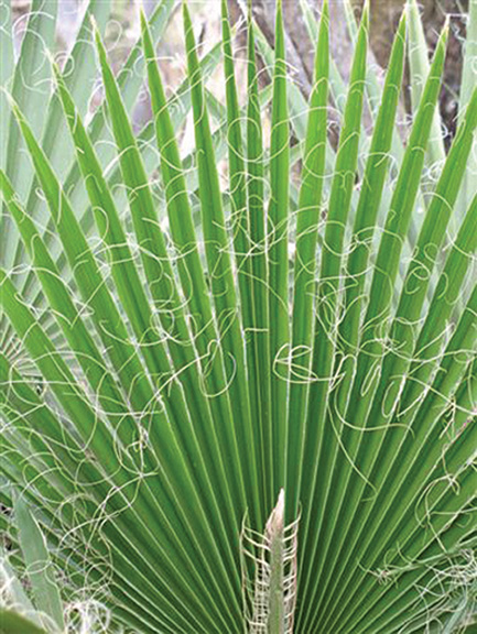 Captivating A Photo Of A Fan Palm