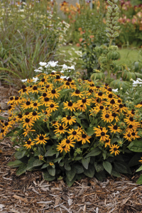 A photo of Rudbeckia fulgida var. sullivantii 'Little Goldstar'