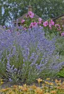 A photo of Perovskia atriplicifolia 'PEEK-A-BLUE'