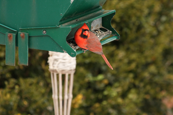 A picture of a cardinal at a hopper feeder.