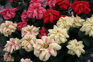 Picture of poinsettias