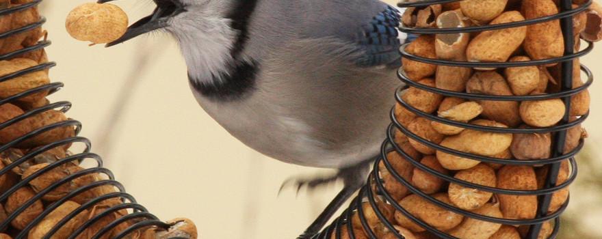 A bluejay eating a peanut