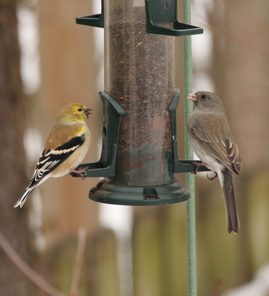 A picture of goldfinches at a tube feeder.