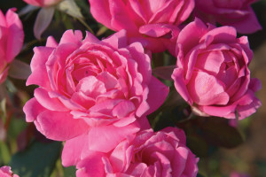 Pink Knockout Rose
