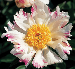 A photo of peony 'Blitz Tort'