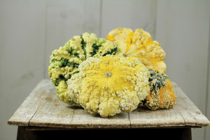 A photo of the summer squash Pattisson's Strie Melange.