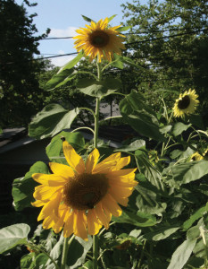 An image of a yellow sunflower.