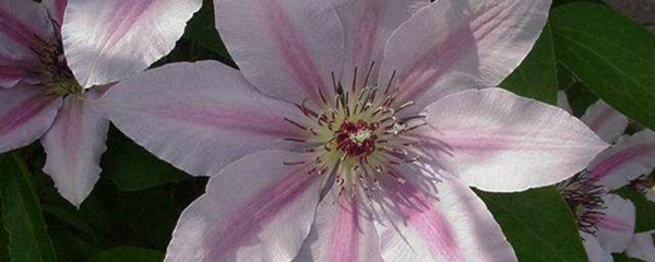 A photo of Clematis 'Nelly Moser'