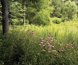 A photo of purple coneflower in a savannah, woodland setting.