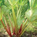 A photo of Rhubarb Victoria, photo courtesy Baker Creek Heirloom Seeds