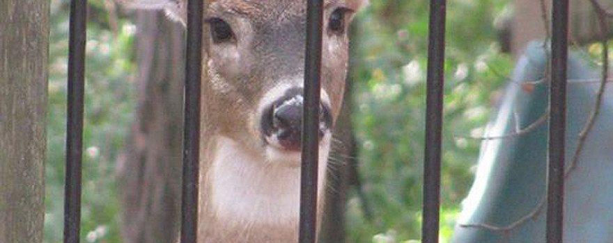 A photo of a deer behind a fence
