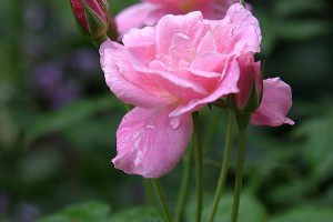 A photo of a pink tea rose