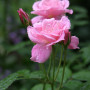 A photo of a pink tea rose