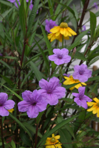 a photo of Mexican Petunia (Ruellia)