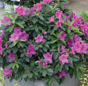 A photo of Bloomathon Lavender Azalea, photo courtesy Proven Winners.