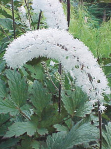 A photo of Cimicifuga 'White Pearl'