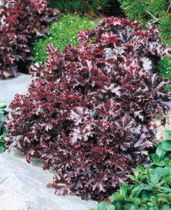 A photo of Heuchera 'Melting Fire'