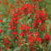 A photo of Lobelia cardinalis (Cardinal flower), photo courtesy Walter's Gardens