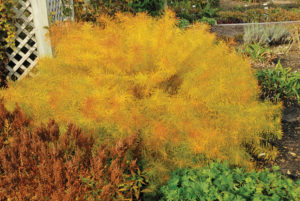 A photo of Amsonia hubrichtii, photo courtesy Walter's Gardens
