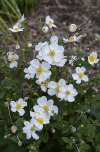 A photo of Anemone 'Honorine Jobert', photo courtesy Walter's Gardens