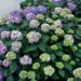 A photo of reblooming Hydrangea Bloomstruck, photo by Bailey Nursery.