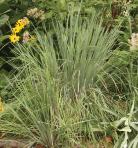 A photo of Little bluestem, photo courtesy Robert Weaver