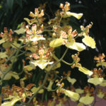 A photo of an oncidium orchid