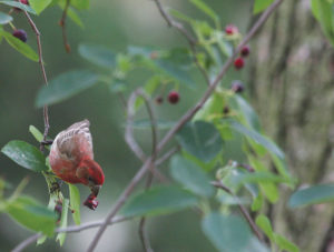 A house finch eating fruit from a native serviceberry.