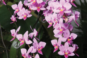 A photo of a purple phalaenopsis orchid