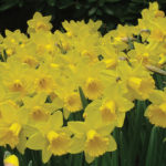 A picture of Narcissus 'Marieke'