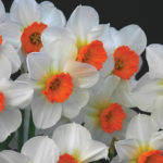 A photo of Narcissus 'Barrett Browning'