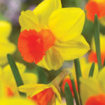 A photo of Narcissus 'Classic Garden'