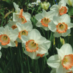 A photo of Narcissus 'Pink Charm'