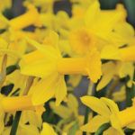 A photo of Narcissus 'Tweety Bird'