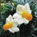 A picture of the Narcissus 'Orpha'